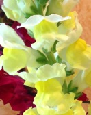 Intimate Yellow Snapdragon