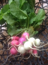 Fresh Farmer's Market Radishes
