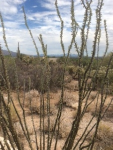Ocotillo cactus, Tuscon, AZ