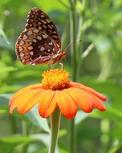 A Great Spangled Fritallary nectaring on a Tithonia