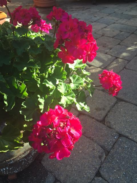 Geranium in the morning sun