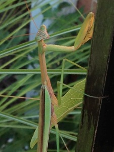 Adult Praying Mantis preying and eating