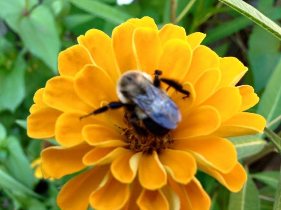 Bumble Bee nectars on a golden zinnia