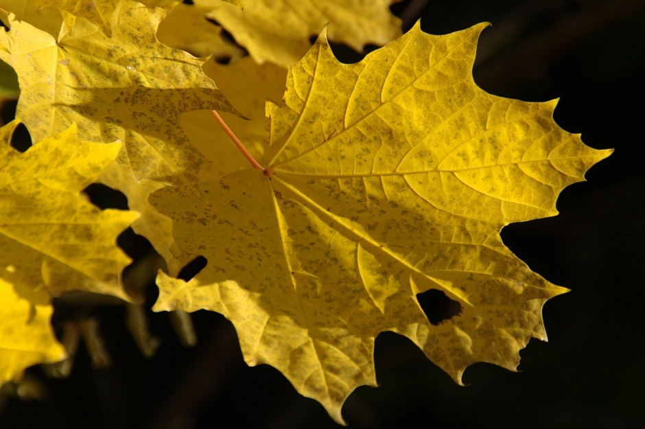 Golden leaf showing a hole set in a black background