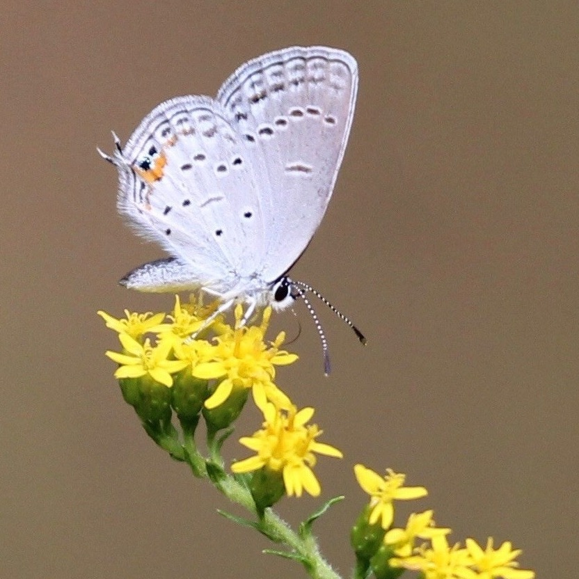 Eastern Tailed Blue Butterfly nectarine on Fireworks/Golden Rod