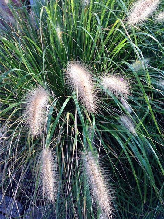 Rustling grasses heartclosetblog for Ornamental grasses that bloom