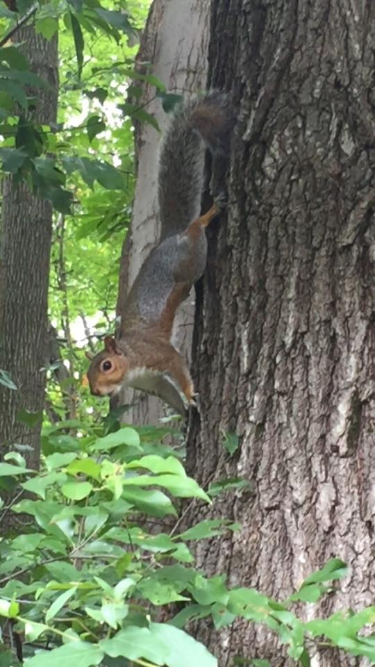 Gray squirrel on the side of a tree ready to leap.