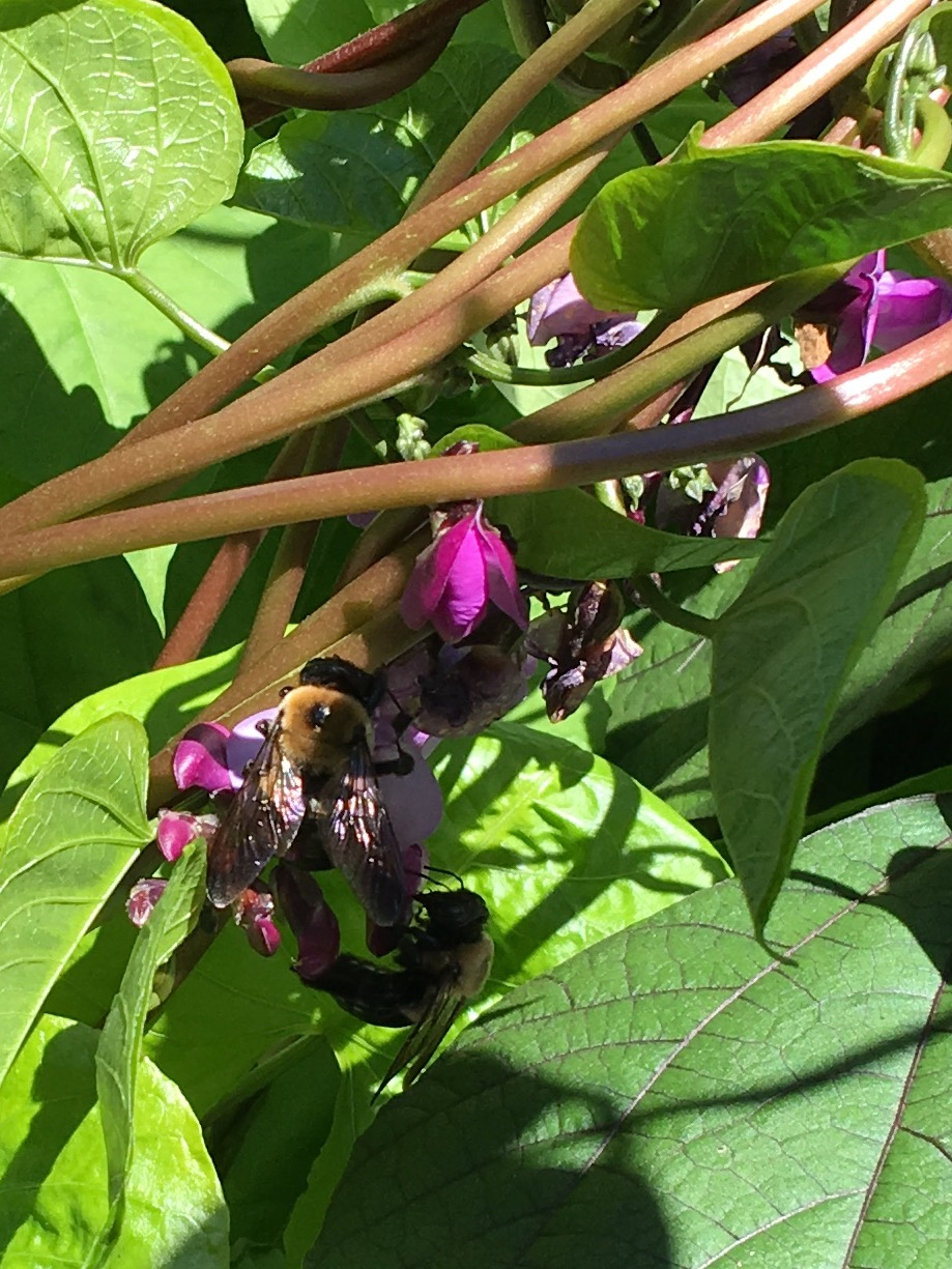 Bumble bees nectaring on Scarlet Runner Beans