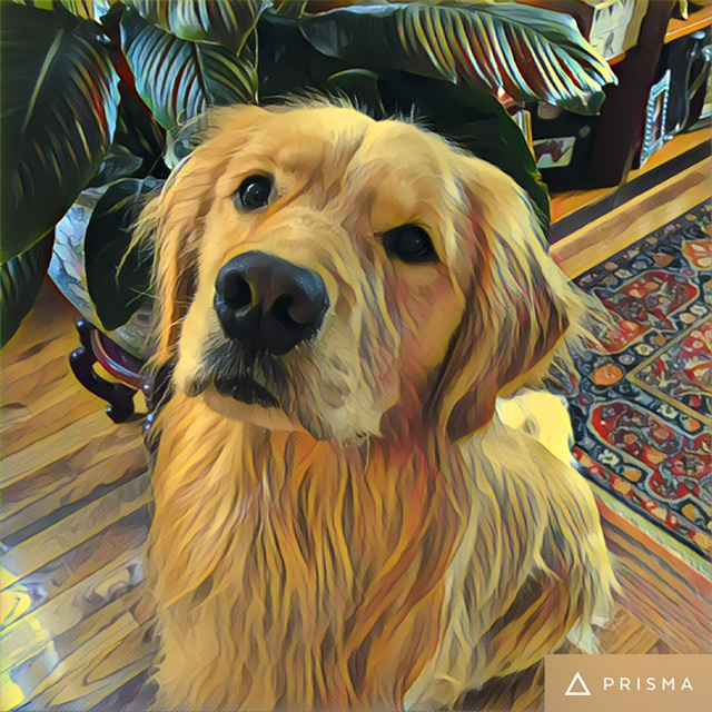 Brodie, the politically motivated golden retriever prepares for election 2016