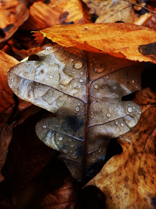Brilliantly colored autumn leaves with raindrops