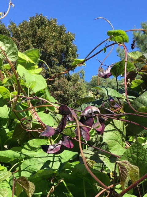 Scarlet Runner Beans reaching up to the blue sky.