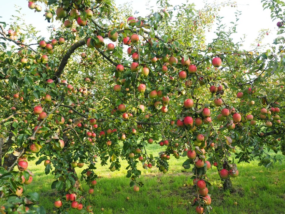 Apple tree heavy with ripe fruit
