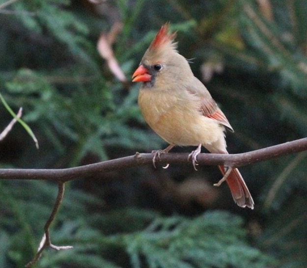 Female cardinal perched on a branch.