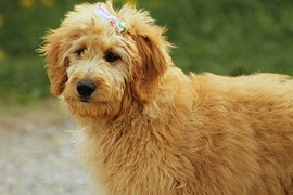 Photo of a golden doodle