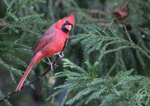 Brillant red male cardinal perched on an evergreen