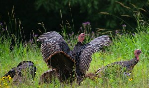 Flock of North American Wild Turkeys in an open field