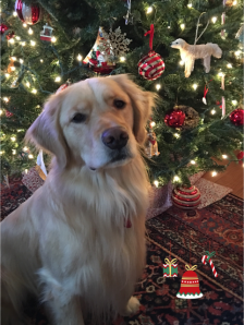 Brodie the Golden retriever with his Christmas Tree