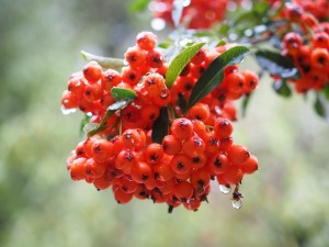 Cluster ofFirethorn Pyracantha