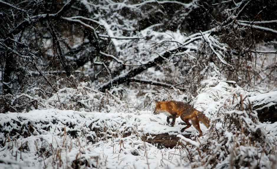 Red fox moving through the snow