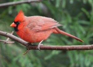 Brilliantly red male cardinal