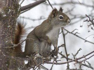 Squirrel observing the winter from a branch
