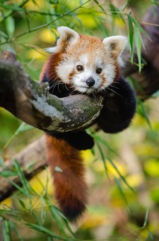 Adorable Red Panda in a tree