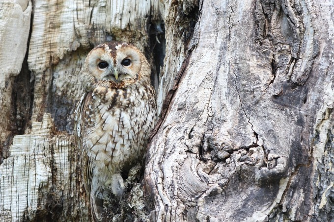 An owl hardly visible due to its camouflage