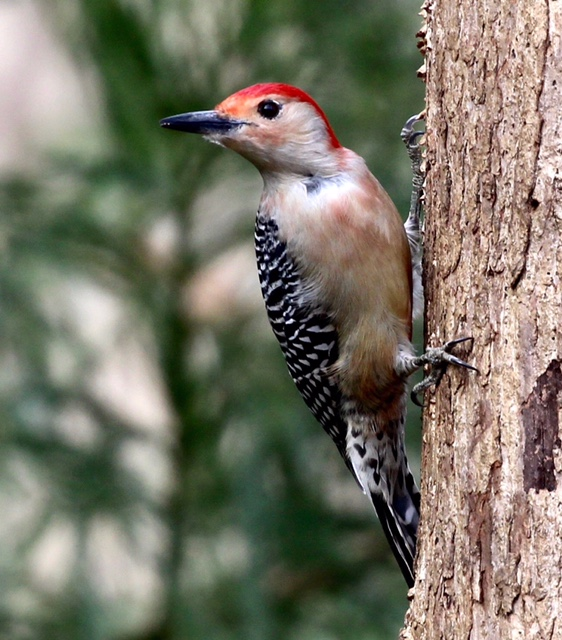 Red Bellied Woodpecker seemingly posing for the camera in Charlottesville, VA