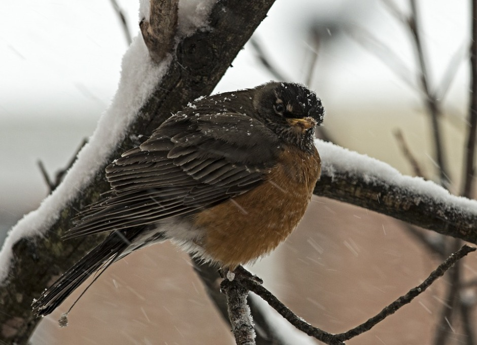 Ruffled feathers of the Robin in winter snow