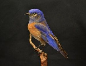 Blue bird perched on a tree limb