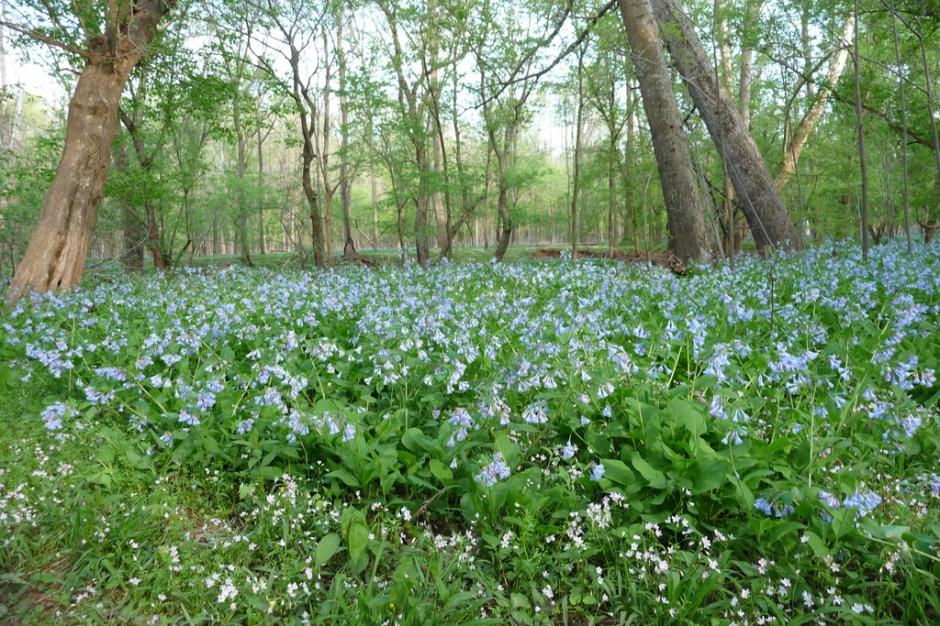 Virginia Bluebells bring spring