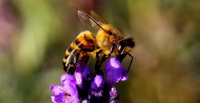 Honey bee pollinating a purple flower