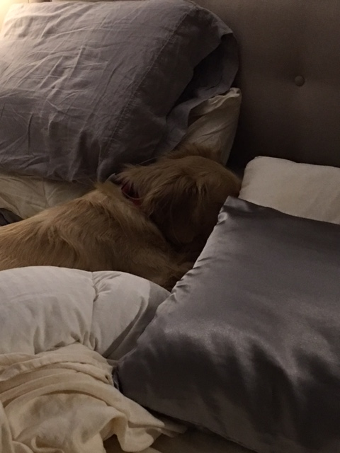 Golden Brodie in the human bed