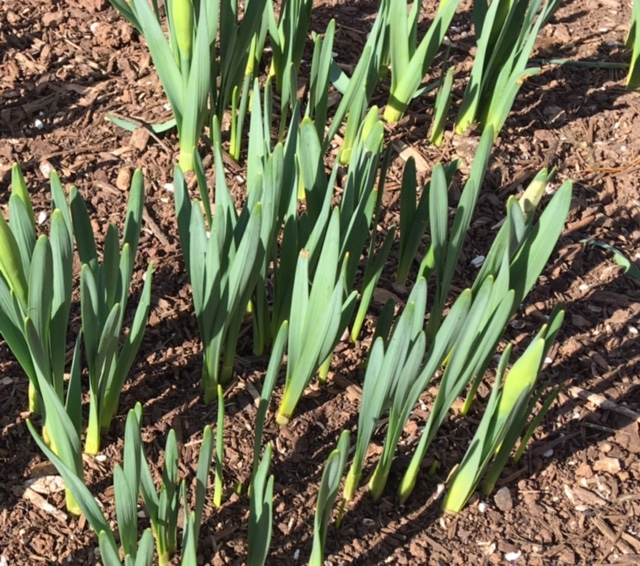 Early daffodils breaking through the soil