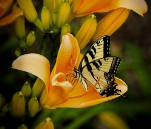 Swallowtail butterfly nectaring on an orange lily
