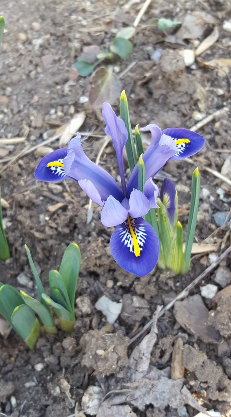 Early iris flowering in February