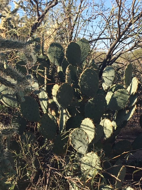 Prickly Pear Cactus in Vail, AZ