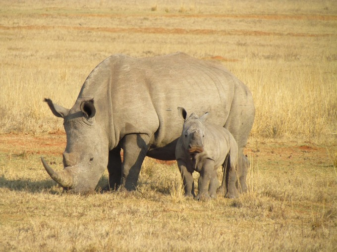 Mother Rhino and calf on the savannah