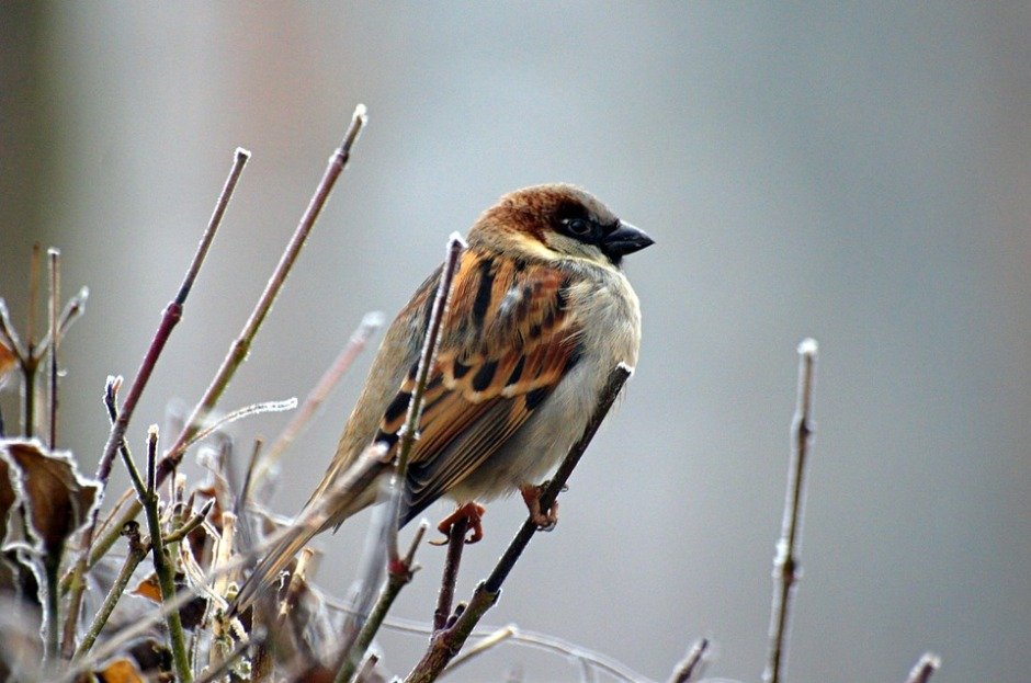 A sparrow on winter branches