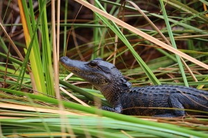 Young alligator in the reeds