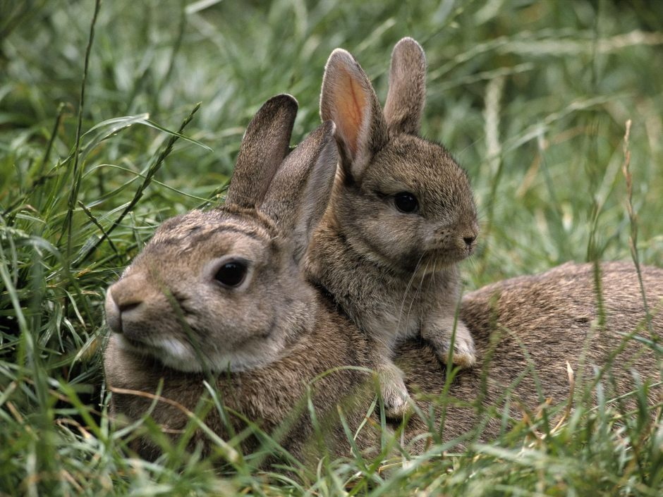 Baby bunny with mother rabbit in the wild