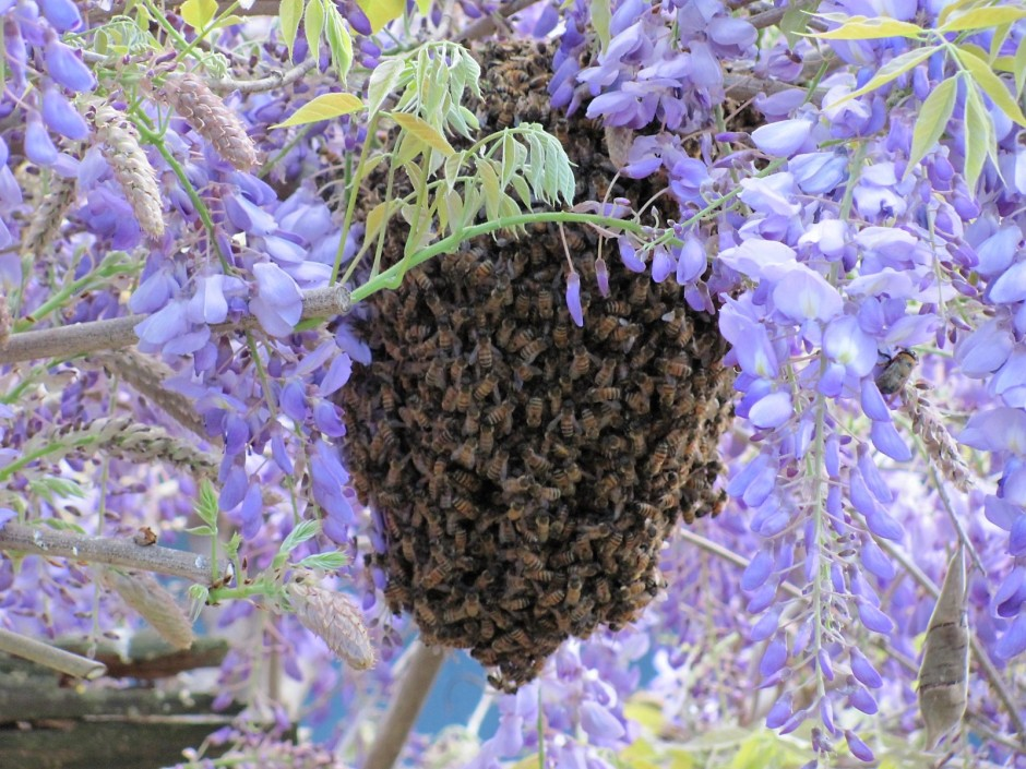 Honey bees swarm under wisteria