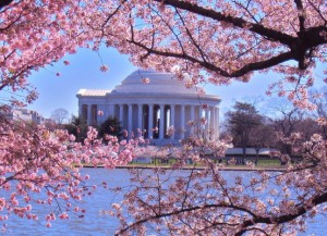 Cherry Blossoms-Tidal Basin, Washington, DC