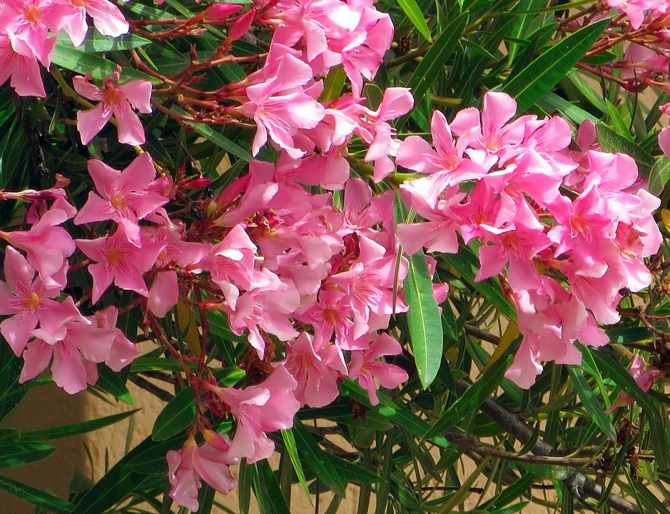 Corsican oleander