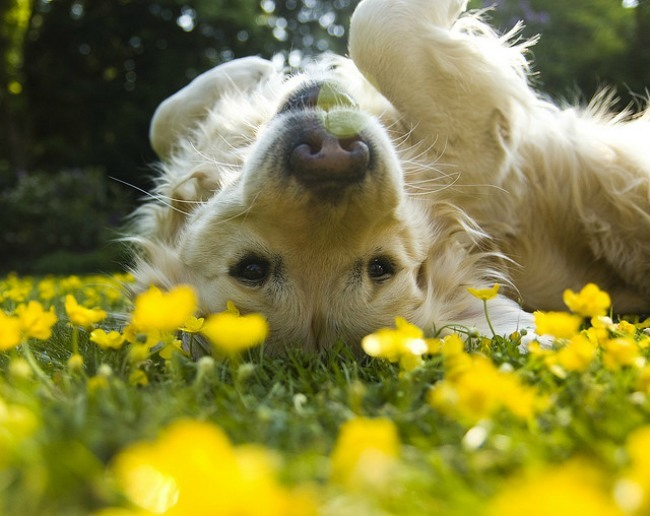 Golden retrieve rolling in yellow flowers