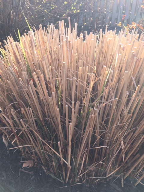 ornamental grass showing green shoots in the spring sunlight