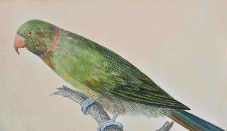 19th Century painting of a green parrot