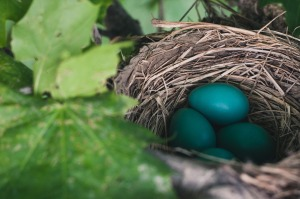 Three Robin's eggs in their nest