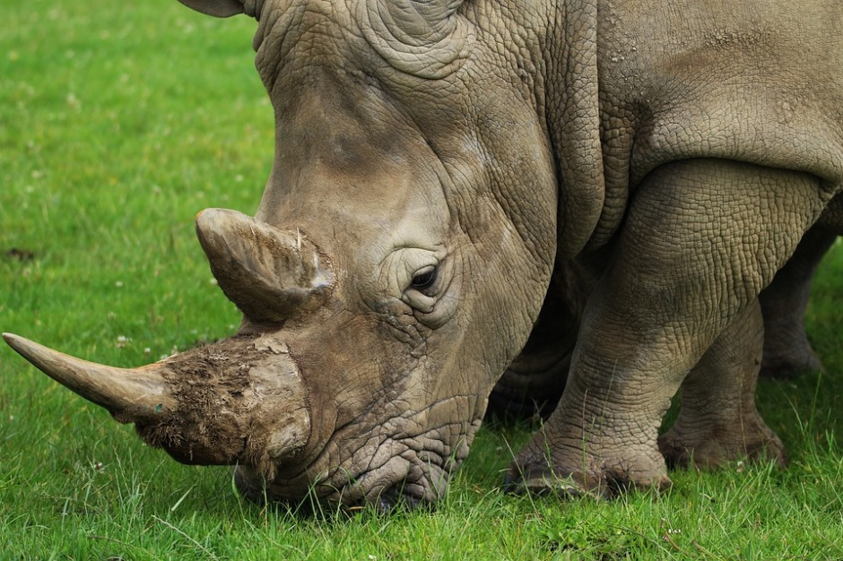 adult rhino with large horn