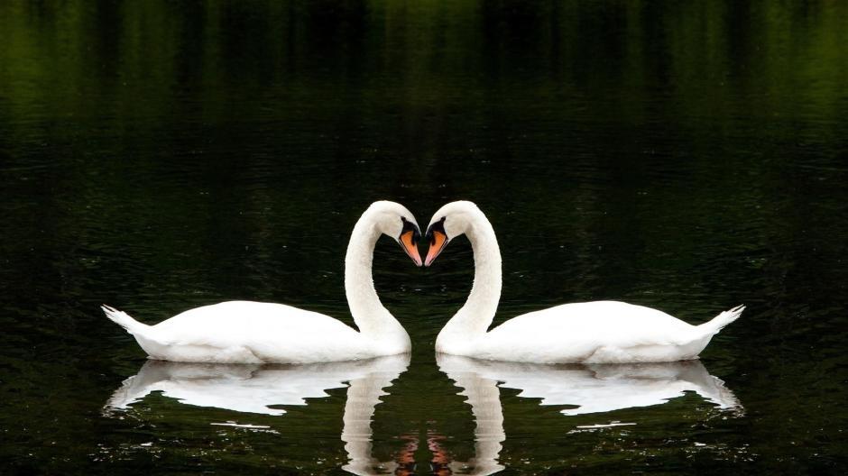 Loving white swans
